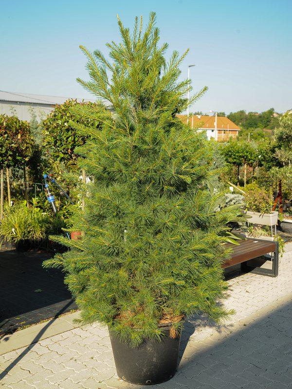 Pinus 301301102