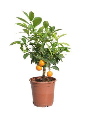 Ukrasno voće