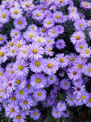 Seme cveća